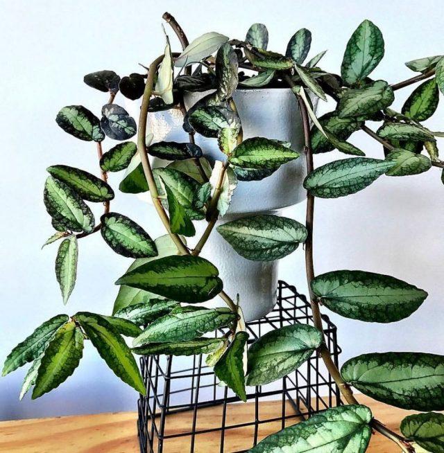 Пеллиония ползучая (Pellionia repens)