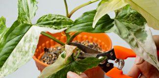 Почему сохнут листья у сингониума?