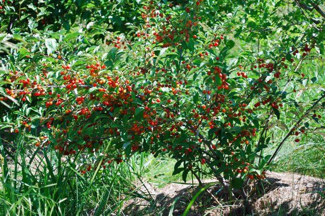 Лох — декоративный кустик, особенно в период плодоношения
