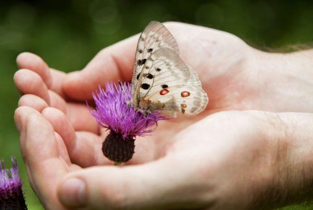 Самые заметные бабочки средней полосы России