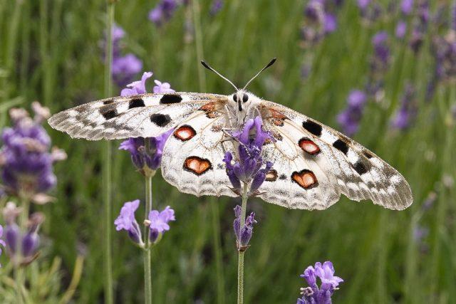 Бабочка Аполлон (Parnassius apollo)