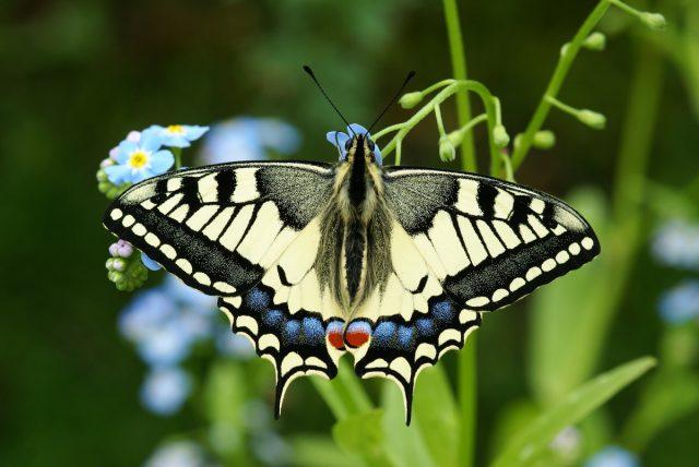Бабочка Махаон (Papilio machaon)