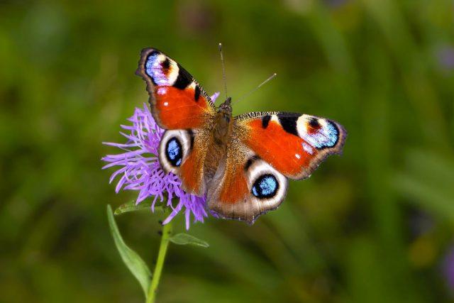 Бабочка Дневной павлиний глаз (Aglais io, ранее Inachis io)