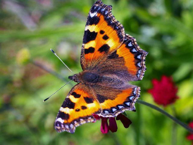 Бабочка Крапивница (Aglais urticae)