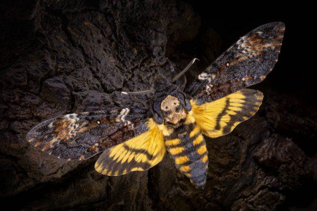 Бабочка Бражник мертвая голова (Acherontia atropos)