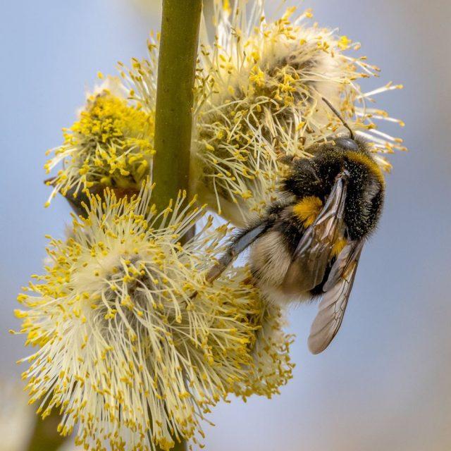 Весной большое количество шмелей можно увидеть на цветущих вербах и ивах