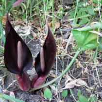 Аронник удлинённый (Arum elongatum)