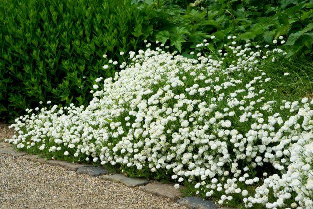 Универсальная жемчужница — для дизайна сада и здоровья