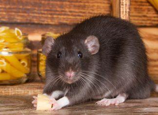 Как вывести крыс из дома