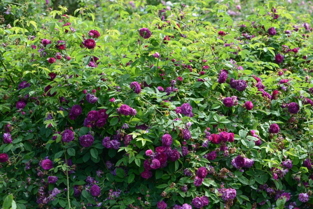 Роза «Тоскана Суперб» (Rose 'Tuscany Superb')