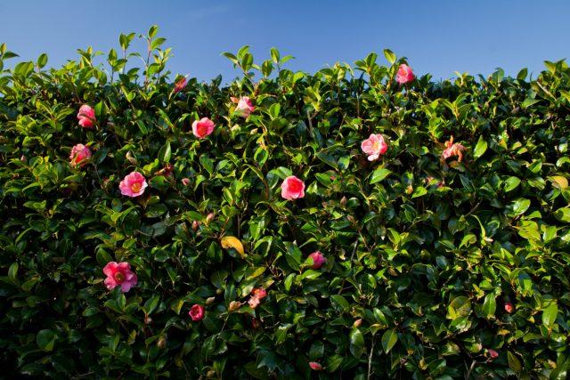 Какую живую изгородь выбрать: из хвойных или листопадных?