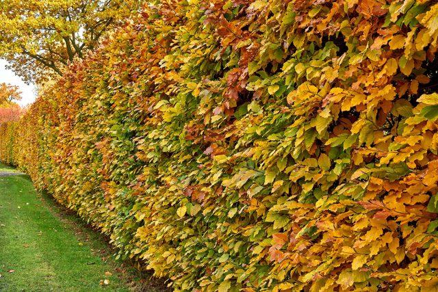 Грабовая изгородь осенью