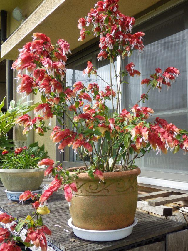 На лето белопероне нежелательно выносить на балкон или сад