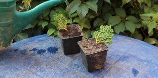 Погрузите в ямки веточки под углом 45°. Слегка утрамбуйте почву вокруг черенков. Полейте грунт с побегами.