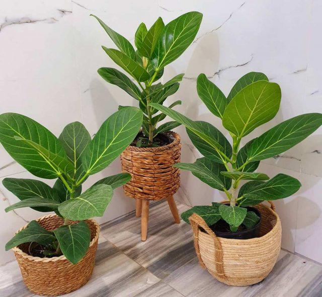 Бенгальский фикус (Ficus benghalensis)
