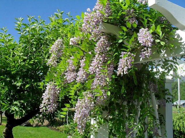 Глициния может полностью преобразить сад всего за несколько сезонов