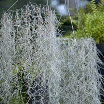 Испанский, или луизианский мох, тилландсия уснеевидная (Tillandsia usneoides)