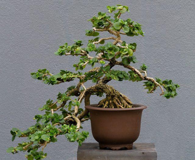 Бонсай Кариссы крупноцветковой