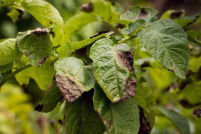 Картофель и фитофтора — как бороться экологичными методами?