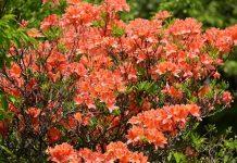 Листопадные рододендроны — зимостойкие виды и сорта, опыт выращивания