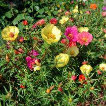 Портулак крупноцветковий (Portulaca grandiflora)