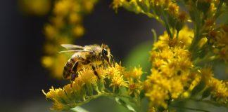 Позднелетние медоносы — для полезного меда и красоты сада