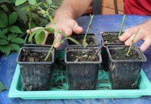 Результаты черенкования роз и гортензий. Как правильно посадить новые саженцы?