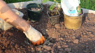 В грунте сделайте посадочную ямку. На дно ямы насыпьте дренажный слой. Сверху присыпьте небольшим количеством песка.