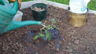 Обильно полейте посадочную лунку водой. Извлеките саженец из горшочка. Высаживайте саженец. Сверху хорошо полейте растение водой и замульчируйте прикорневую зону.