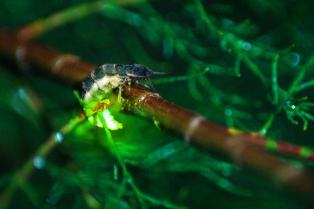 Светляк обыкновенный (Lampyris noctiluca)