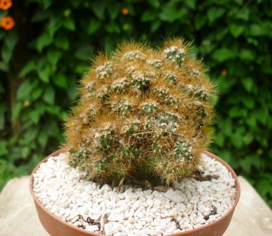 Цереусы — идеальные кактусы для ленивых
