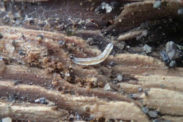 Личинка грибного комарика (Sciaridae)