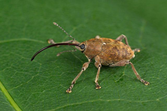 Слоник, или долгоносик (Curculionidae)