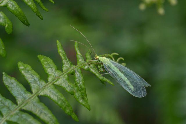 Златоглазка (Chrysopidae)