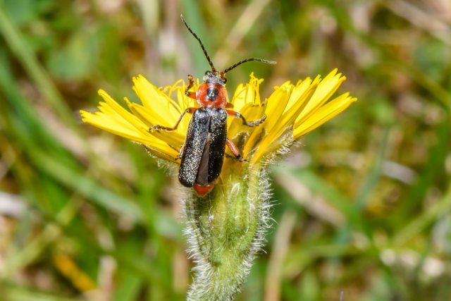 Жук-пожарник, или мягкотелка (Cantharidae)