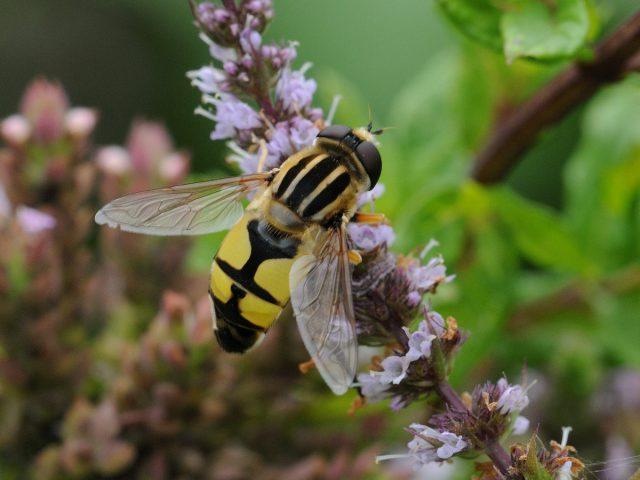 Муха-журчалка (Syrphidae)