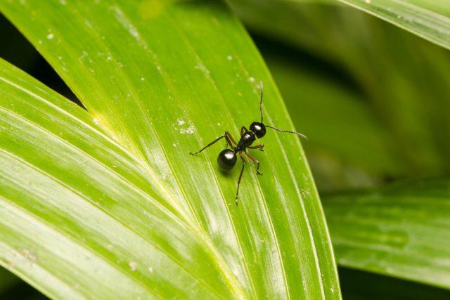 Муравей (Formicidae)