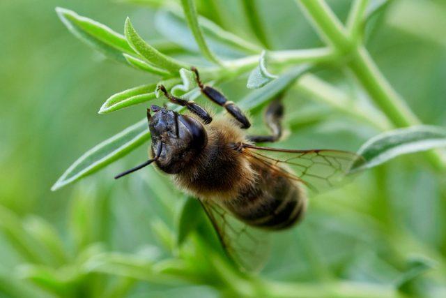 Пчела (Anthophila)