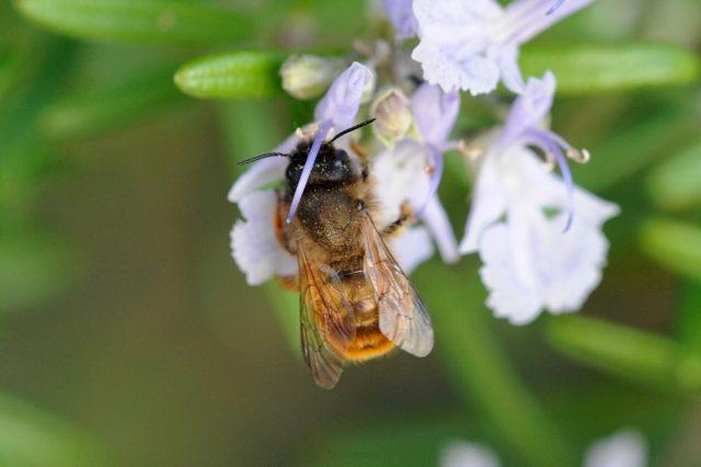 Пчела осмия (Osmia)