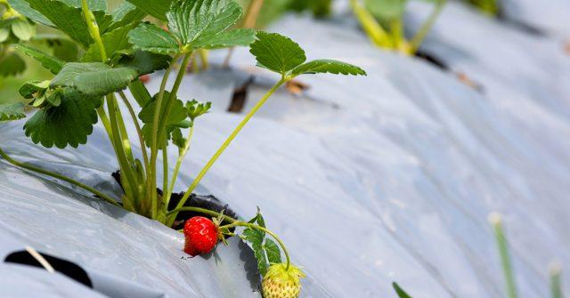 Клубника, растущая под агроволокном