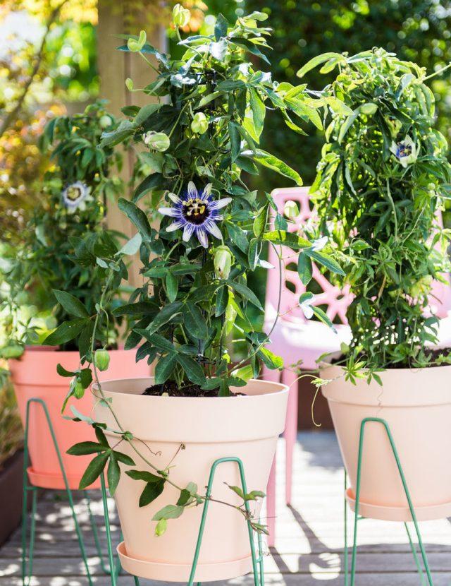 Пассифлора (Passiflora caerulea)