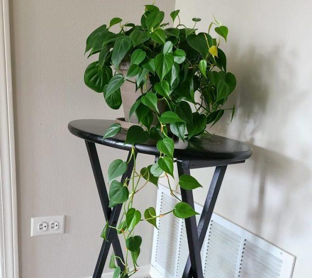 Филодендрон лазящий (Philodendron hederaceum)