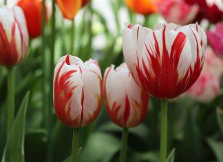 Необычные сорта тюльпанов