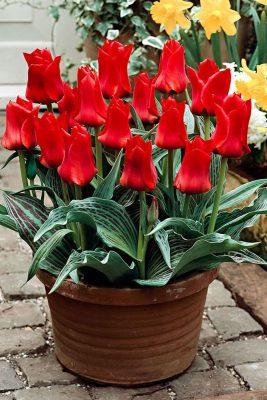 «Тюльпаны Грейга»
