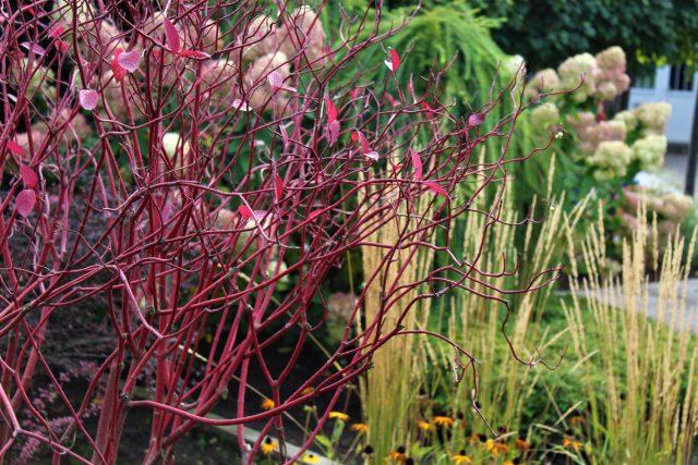 Ветки дерена украшают ландшафт сада