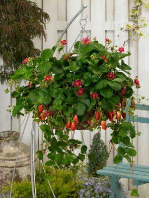 Ремонтантная земляника садовая
