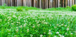 Белый клевер как газон — достоинства и недостатки, посев и уход