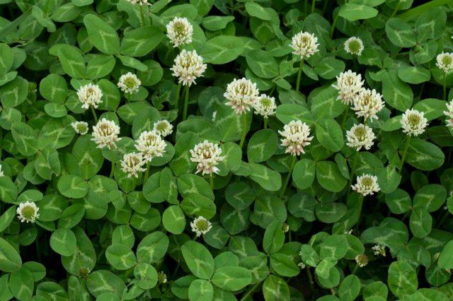 Ползучий, или белый клевер, белая кашка (Trifolium repens)