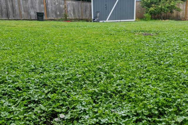 Белый клевер можно использовать для создания зеленого ковра в любом солнечном месте с почти любой почвой