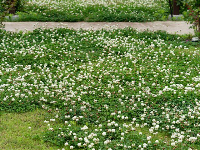 Газон из белого клевера скорее фоновый и пейзажный вариант для природного дизайна